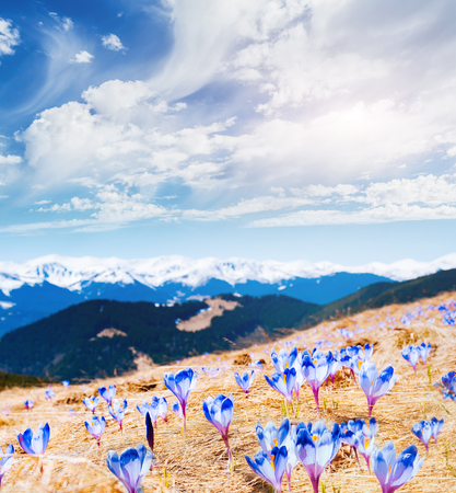 Awesome first flowers in the alpine valley. Gorgeous day and picturesque scene. Location place of Carpathian, Ukraine, Europe. Wonderful image of wallpaper. Explore the worlds beauty and wildlife.