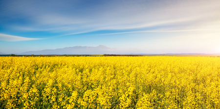 Vivid canola field in sunlight. Gorgeous day and picturesque scene. Location rural place of Ukraine, Europe. Wonderful image of wallpaper. Ecology concept, global warming. Explore the world's beauty.