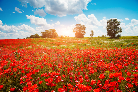 Blooming poppies on field with white fluffy clouds. Wild flowers in springtime. Nice day and gorgeous scene. Wonderful wallpaper. Location rural place of Ukraine, Europe. Explore the world's beauty. Stockfoto
