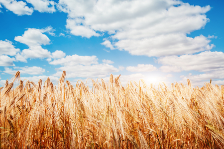 Plantation ripe wheat glows in the sunlight. A wonderful day in summertime. Location rural place of Ukraine, Europe. Ecological production of natural products. Explore the worlds beauty. Stock Photo