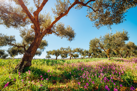 Incredible olive orchard in blossom. Picturesque day and gorgeous scene. Forest in springtime. Location place Sicilia island, Italy, Europe. Wonderful image of wallpaper. Explore the worlds beauty.