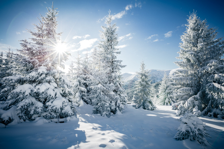 Malowniczy obraz drzewa świerki. Mroźny dzień, spokojna zimowa scena. Lokalizacja Karpaty, Ukraina Europa.
