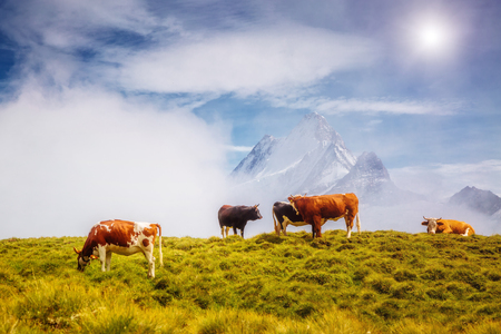 Cows graze on alpine hills in sun beams. Picturesque and gorgeous day scene. Location place Berner Oberland, Grindelwald, Switzerland. Artistic picture. Discover the world of beauty. 版權商用圖片 - 116568581