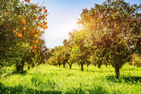 Indrukwekkend uitzicht op groene tuin. Landbouw in de lente. Pittoreske dag en prachtige scène. Prachtig beeld van behang. Locatie plaats Sicilië eiland, Italië, Europa. Ontdek de schoonheid van de wereld. Stockfoto
