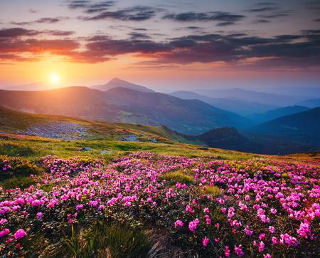 春には魔法のシャクナゲが咲きます。場所カルパティア国立公園、ウクライナ、ヨーロッパ。野生の領域の偉大な画像。ハイキングコンセプトの風
