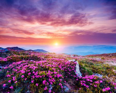 Il magico rododendro fiorisce in primavera. Posizione Parco nazionale dei Carpazi, Ucraina, Europa. Ottima immagine dell'area selvaggia. Immagine panoramica del concetto di escursionismo. Esplora la bellezza della terra. Tono viola