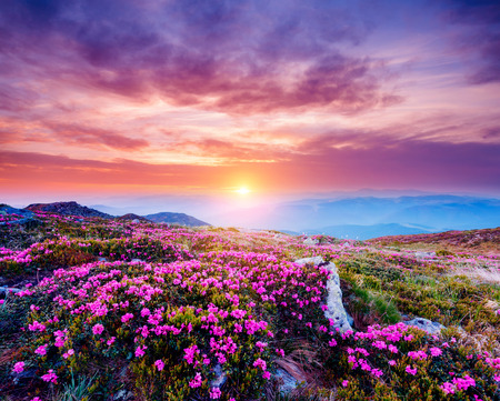 The magic rhododendron blossoms in springtime. Location Carpathian national park, Ukraine, Europe. Great picture of wild area. Scenic image of hiking concept. Explore the beauty of earth. Violet tone 스톡 콘텐츠 - 118771642