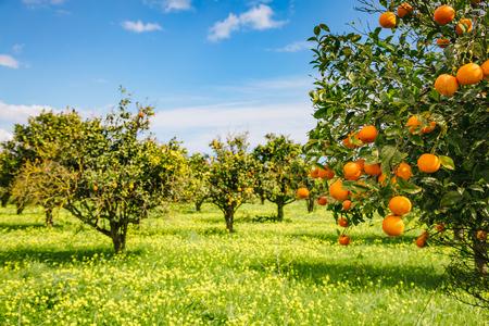 Beeindruckende Aussicht auf den grünen Garten. Landwirtschaft im Frühling. Malerischer Tag und wunderschöne Szene. Wunderbares Bild der Tapete. Standort Ort Sizilien Insel, Italien, Europa. Entdecken Sie die Schönheit der Welt.