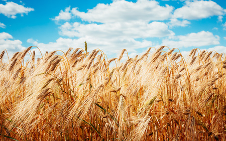 Plantation ripe wheat glows in the sunlight. A wonderful day in summertime. Location rural place of Ukraine, Europe. Ecological production of natural products. Explore the world's beauty.