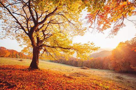 Fantastisches Bild der glänzenden Buche auf einem Hügel im Bergtal. Dramatische Szene. Orange und gelbe Blätter. Standort Ort Karpaten, Ukraine, Europa. Schönheitswelt. Weicher Filtereffekt. Standard-Bild