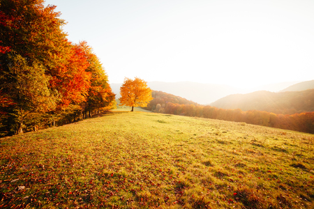 Awesome image of the shiny beech tree on a hill slope at mountain valley. Dramatic scene. Orange and yellow leaves. Location place Carpathians, Ukraine, Europe. Beauty world. Breathtaking wallpaper. Stock fotó