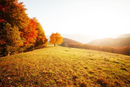 Fantastisches Bild der glänzenden Buche auf einem Hügel im Bergtal. Dramatische Szene. Orange und gelbe Blätter. Standort Ort Karpaten, Ukraine, Europa. Schönheitswelt. Atemberaubende Tapete. Standard-Bild