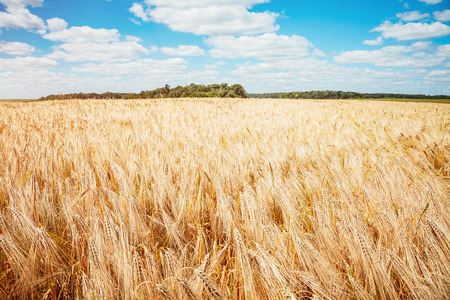 El trigo maduro de la plantación brilla a la luz del sol. Un día maravilloso en verano. Lugar rural de la ubicación de Ucrania, Europa. Producción ecológica de productos naturales. Explore la belleza del mundo.
