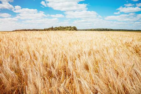 Plantage rijpe tarwe gloeit in het zonlicht. Een heerlijke dag in de zomer. Locatie landelijke plaats van Oekraïne, Europa. Ecologische productie van natuurlijke producten. Ontdek de schoonheid van de wereld.