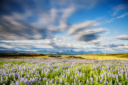 Magical blooming lupine valley glowing by sunlight. Unusual day and gorgeous morning scene. Typical icelandic panorama. Location Iceland, Europe. Save environment.  Discover the world of beauty.