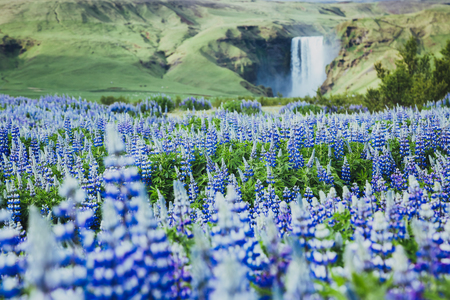 Beautiful view of vivid lupine flowers on sunny day. Location place Skogafoss waterfall, Skoga, Iceland Europe. Wonderful image of amazing nature landscape. Spring scene. Discover the beauty of earth. Stock Photo