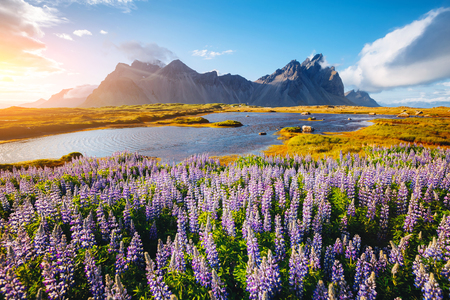 Beautiful view of perfect lupine flowers on sunny day. Location Stokksnes cape, Vestrahorn, Iceland, Europe. Wonderful image of summer nature landscape. Discover the beauty of earth. Stock Photo