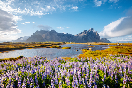 Beautiful view of perfect lupine flowers on sunny day. Location Stokksnes cape, Vestrahorn, Iceland, Europe. Wonderful image of amazing nature landscape. Discover the beauty of earth.
