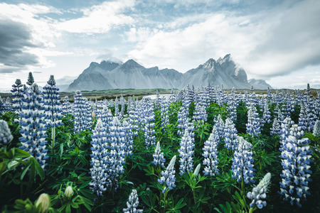 Beautiful view of perfect lupine flowers on sunny day. Location Stokksnes cape, Vestrahorn , Iceland, Europe. Wonderful image of summer nature landscape. Discover the beauty of earth. Stock Photo