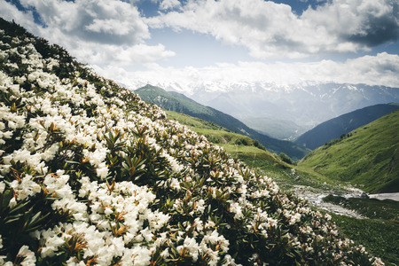 Alpine meadows with rhododendron flowers at the foot of Mt. Ushba. Location Upper Svaneti, Georgia country, Europe. The main Caucasian ridge. Scenic image of wild area. Explore the beauty of earth.