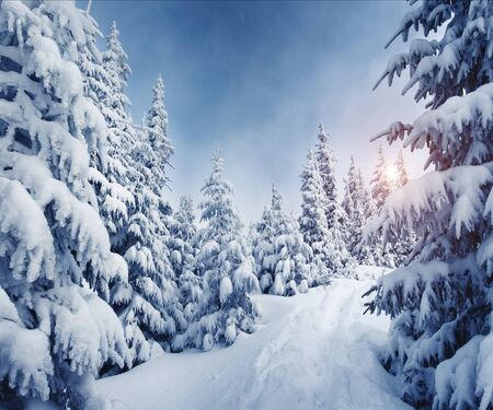 Fabulous frozen fir trees. Frosty day on ski resort. Location Carpathian, Ukraine, Europe. Great picture of wild area. Explore the beauty of earth. Scenic image of hiking concept. Happy New Year!  Imagens