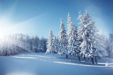Vivid white spruces on a frosty day. Location Carpathian national park, Ukraine, Europe. Alpine ski resort. Exotic wintry scene. Concept of winter holiday. Happy New Year! Explore the beauty of earth. Archivio Fotografico
