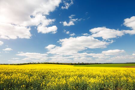 Bright yellow canola field and blue sky on sunny day. Location rural place of Ukraine, Europe. Photo of ecology concept. Perfect wallpaper. Concept of agrarian industry. Discover the beauty of world. Imagens