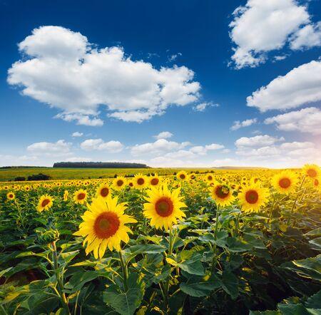 Jasne żółte słoneczniki świecą w słońcu. Miejsce lokalizacji Ukraina, Europa. Kwitnący zbliżenie pola. Zdjęcie koncepcji ekologii. Idealne naturalne tło tapety. Odkryj piękno ziemi.