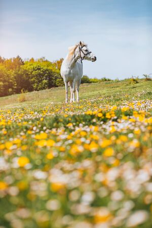 Attractive view of floral pasture with Arabian horse in the sunlight. Location Carpathian mountain, Ukraine, Europe. Scenic image of farmland. Great picture of wild area. Discover the beauty of earth.