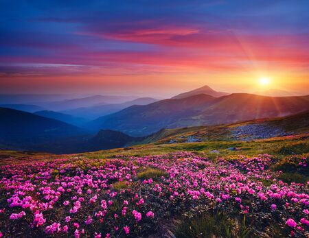 魔法の夕日に魅力的なピンクの花シャクナゲ。場所カルパティア山、ウクライナ、ヨーロッパ。美しい自然の風景。牧歌的な夏の壁紙の風光明媚なイメージ。地球の美しさを発見する。