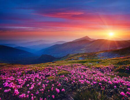 Uroczy różowy kwiat rododendronów o magicznym zachodzie słońca. Lokalizacja Karpaty, Ukraina, Europa. Piękny krajobraz przyrody. Malowniczy obraz sielankowej letniej tapety. Odkryj piękno ziemi.