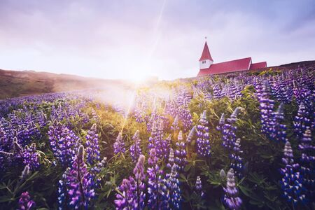 Blooming lupine flowers near Vikurkirkja church. Location place Vik i Myrdal village, Iceland, Europe. Scenic image of popular tourist destination. Inspirational nature. Discover the beauty of earth.