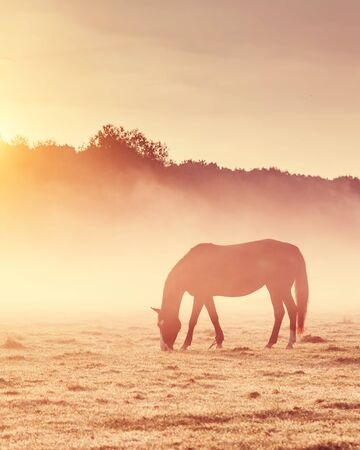 Arabian horses grazing on pasture at sundown in orange sunny beams. Dramatic foggy scene. Carpathians, Ukraine, Europe. Beauty world. Retro style filter. Stockfoto