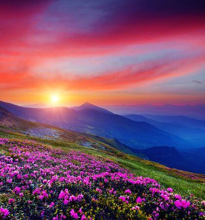 Rhododendrons à fleurs roses au coucher du soleil magique. Emplacement Montagne des Carpates, Ukraine, Europe. Destination touristique la plus populaire. Image panoramique du fond d'écran d'été idyllique. Découvrez la beauté de la terre.