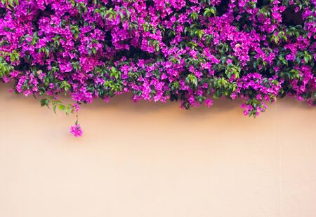 Pink wall covered with magenta Bougainvillea flowers. Floral background. Typical Mediterranian street exterior. Botanical garden. Scenic image of flowering orchard in spring time. Beauty of earth.