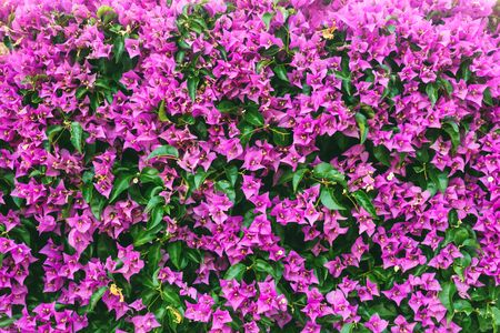Delightful magenta Bougainvillea flowers on the wall. Botanical garden on a sunny day. Concept of the ecology. Soft focus effect. Scenic image of flowering orchard in spring time. Beauty of earth. Banco de Imagens