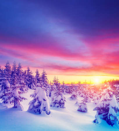 Perfect evening winter landscape with spruce trees. Dramatic wintry scene. Magic Carpathian mountains, Ukraine, Europe. Vivid violet tone. Splendid christmas wallpapers. Happy New Year! Beauty world.