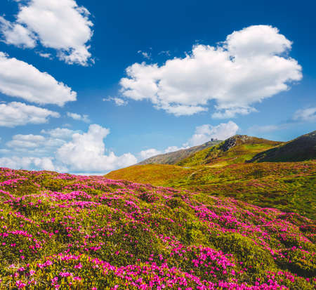 Breathtaking pink rhododendron flowers in summer alpine valley. Location place Carpathian mountains, Ukraine, Europe. Photo of ecology concept. Perfect nature wallpapers. Discover the beauty of earth.