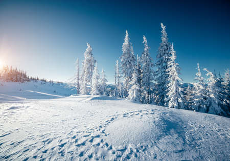 Fresh snowy day in coniferous forest. Location place of Carpathian mountains, Ukraine, Europe. Magnificent wintry wallpapers. Christmas holiday concept. Happy New Year! Discover the beauty of earth.