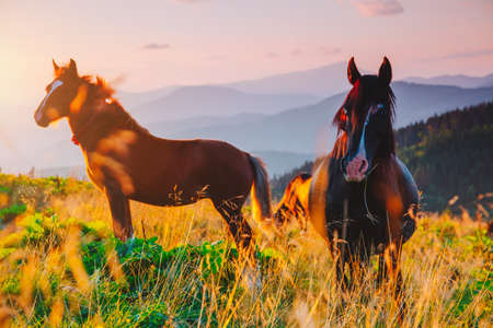 Attractive view of pasture with Arabian horse on a sunny day. Location Carpathian mountain, Ukraine, Europe. Scenic image of farmland. Great picture of wild area. Discover the beauty of earth.