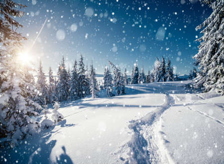 Frosty day in snowy coniferous forest. Location place of Carpathian mountains, Ukraine, Europe. Magnificent wintry wallpapers. Christmas holiday concept. Happy New Year! Discover the beauty of earth.