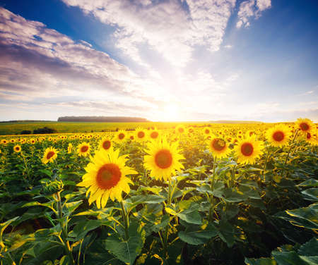 Bright yellow sunflowers glow in the sunlight. Location place of Ukraine, Europe. Blooming field closeup. Photo of ecology concept. Perfect natural wallpaper background. Discover the beauty of earth. Standard-Bild - 158641427