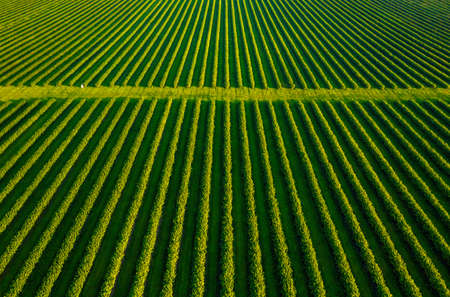 Aerial top view of row blackcurrant bushes in sunny day. Location rural place of Ukraine, Europe. Agricultural land in spring time. Drone photography. Concept of agrarian industry. Beauty of earth. Standard-Bild - 158709669