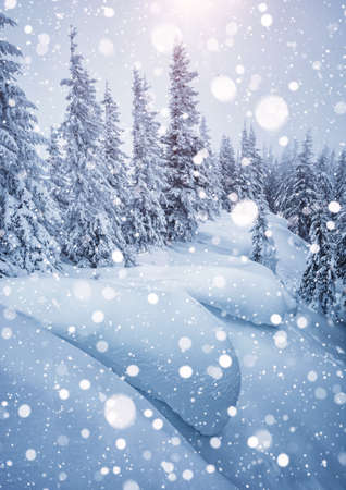 Frozen white spruces on a frosty day. Location Carpathian mountain, Ukraine, Europe. Alpine ski resort. Exotic wintry scene. Perfect winter wallpaper. Happy New Year! Discover the beauty of world.