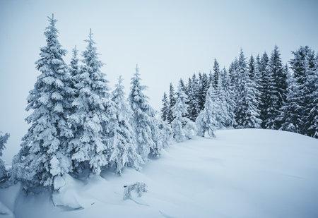 Frozen white spruces on a gloomy day. Location Carpathian mountain, Ukraine, Europe. Alpine ski resort. Majestic wintry scene. Fabulous winter wallpaper. Happy New Year! Discover the beauty of world.