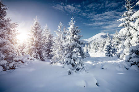 Spectacular white spruces on a frosty day. Location Carpathian national park, Ukraine, Europe. Winter alpine ski resort. Exotic wintry scene. Blue toning. Happy New Year! Discover the beauty of earth. Standard-Bild