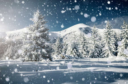 Incredible white spruces on a frosty day. Location Carpathian national park, Ukraine, Europe. Winter alpine ski resort. Exotic wintry scene. Blue toning. Happy New Year! Discover the beauty of earth.