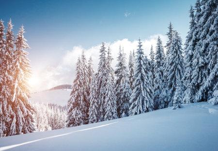 Vivid white spruces on a frosty day. Location Carpathian national park, Ukraine, Europe. Alpine ski resort. Exotic wintry scene. Idyllic winter wallpaper. Happy New Year! Discover the beauty of earth. Standard-Bild