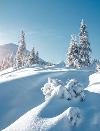Vivid white spruces on a frosty day. Location Carpathian national park, Ukraine, Europe. Alpine ski resort. Exotic wintry scene. Concept of winter holiday. Happy New Year! Explore the beauty of earth. Standard-Bild