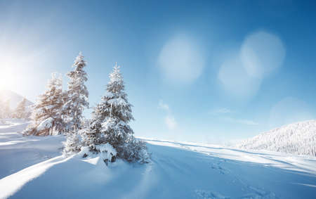 Idyllic white spruces on a frosty day. Location Carpathian mountain, Ukraine, Europe. Alpine ski resort. Exotic wintry scene. Fabulous winter wallpaper. Happy New Year! Discover the beauty of earth.